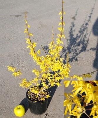 FORSIZIA forsythia vaso 18 cm