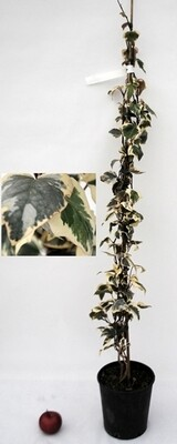 HEDERA variegata 1 CN VP.18 H.120
