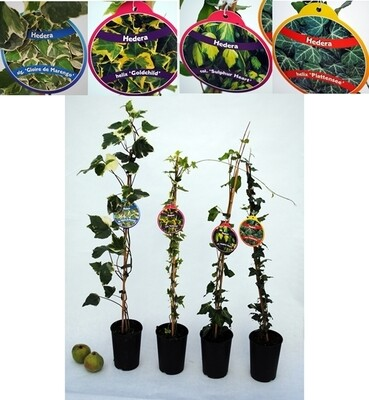 HEDERA MIX 4 CANNE VQ.21