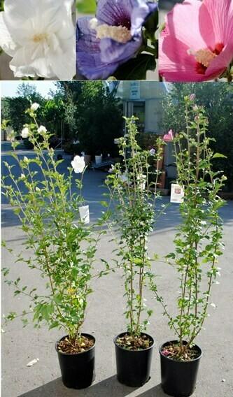 Hibiscus syriacus bianco/rosa/viola IBISCO v24 cm