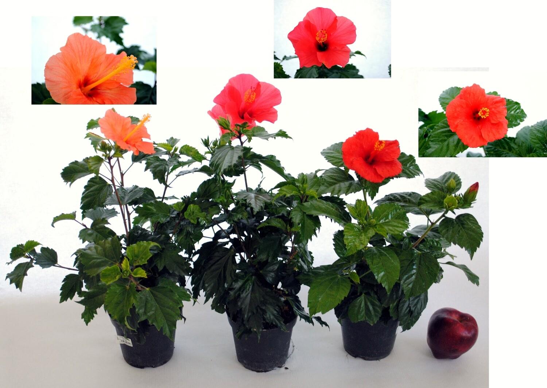 Ibisco Hibiscus rosa sinensis vaso 14