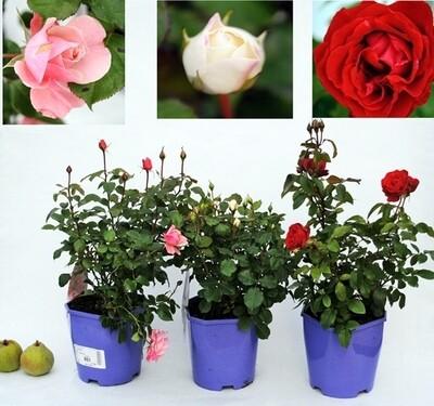 ROSAIO Grand Fiore v24 scegli la varieta Rosa Rose