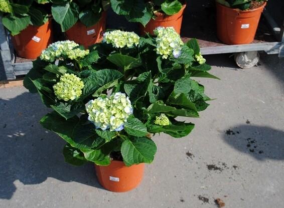 Hydrangea (ortensia) Macro rosa rossa bianca blu (NON FORZATA)