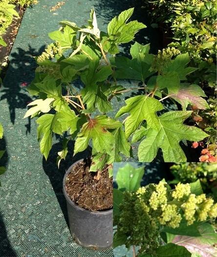 Hydrangea (ortensia)  quercifolia vaso 18   Ortensie che si adattano anche al SOLE (SOTTOTAGLIA)