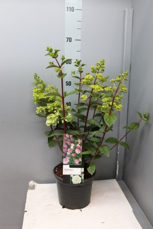 Hydrangea (ortensia) Annabelle quercifolia paniculata. Ortensie che si adattano anche al SOLE