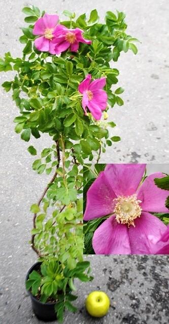 ROSAI RUGOSA bianca e rosa VP.20 cm Rosa Rose