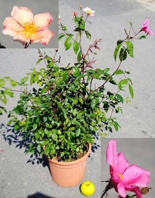 Rosa Rose Mutabilis
