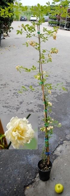 Rose Banksie v20 ( crema o  rosa )