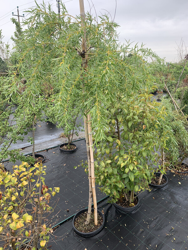 Salice Piangente Salix