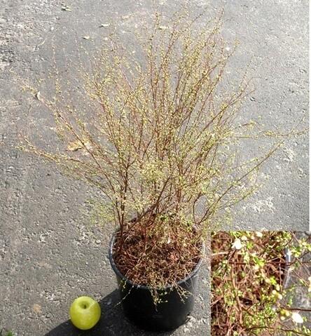 Spirea Spiraea / scirobana shirobana vaso 18