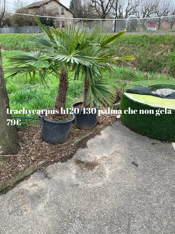 Palma resistente al gelo Trachycarpus Fortunei v35 h 40-50 tronco piu foglie