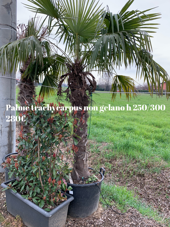 Palma resistente al gelo Trachycarpus Fortunei esemplare Vaso 50