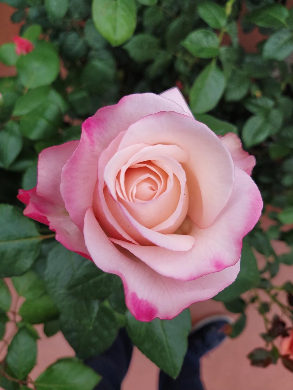 ROSE INGLESI ANTICHE PROFUMATE DAVID AUSTIN VASO 23 cm Rosa