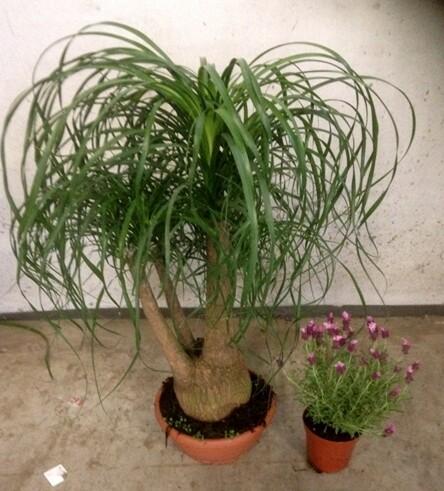 Beucarnea Mangiafumo ciotola 40 cm h 80/100 esemplare tronco grande