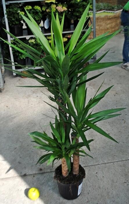 Yucca Tronchetto vaso 24 3 tronco 90/60/15