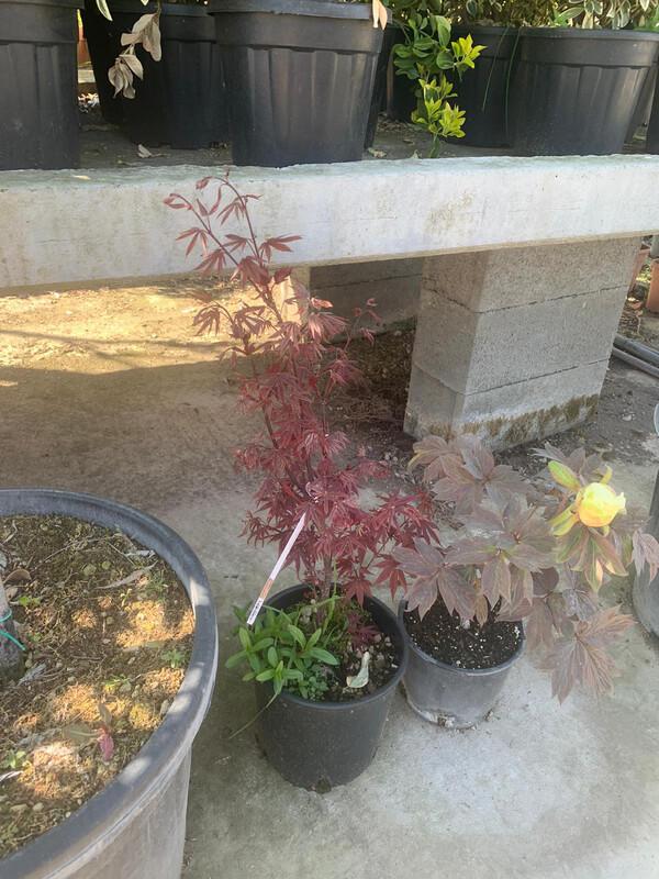 Acero Acer Palmatum