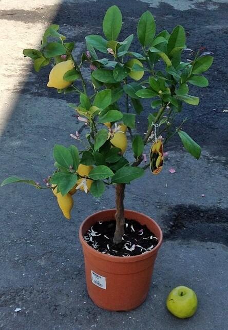 Limone Citrus Limone Limoni v21