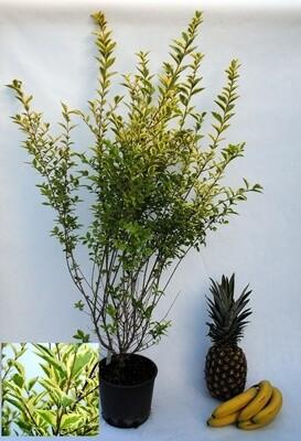 Ligustro Ovalifolia aurea ligustrum