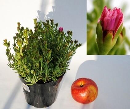 MESEBRIANTEMO Mesembryanthemum ( lampranthus) vaso 14
