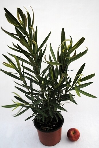 Nerium Oleander Oleandro