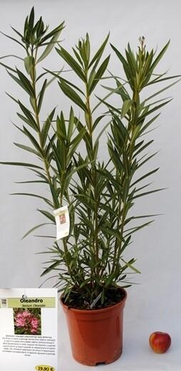 Nerium Oleander Oleandro vaso 18 cm