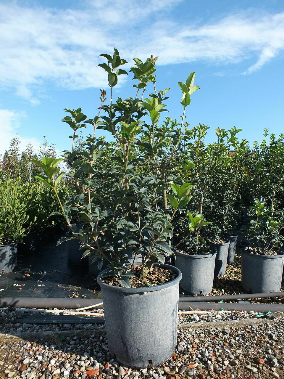 Osmanthus aquifolium v24