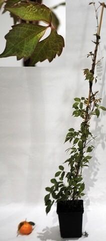 VITE CANADESE Partenocissus quinquefolia  (VITE AMERICANA)