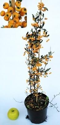Phiracantha Pyracantha rosso giallo arancio