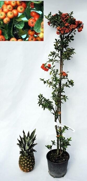 Phiracantha Pyracantha rosso giallo arancio v16 h 70