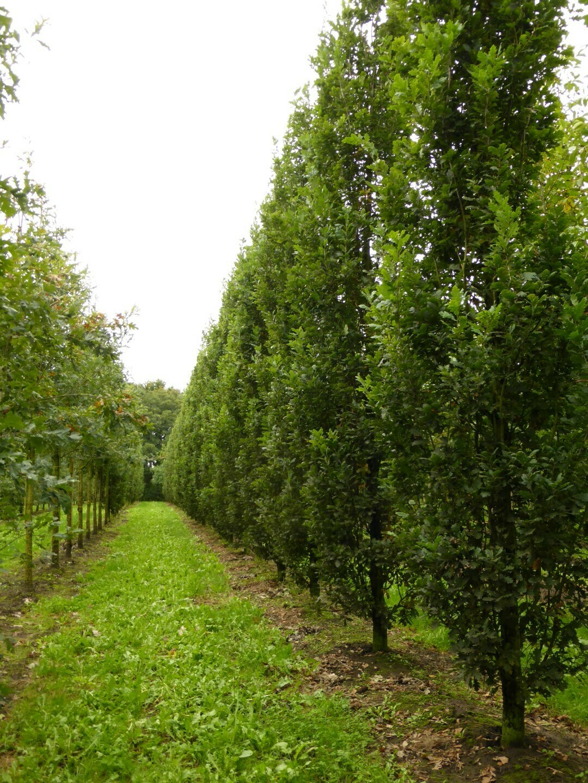 Quercia Quercus Pyramidalis