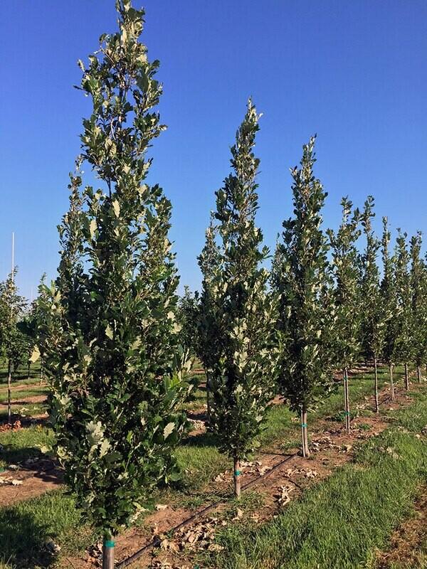 Quercia Quercus Robur/CErris Cerro/Farnia