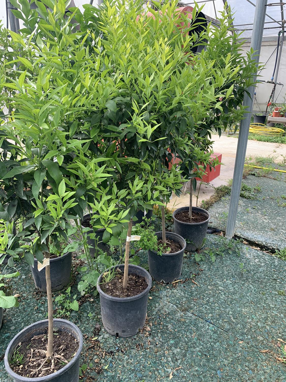 Mandarino Citrus Reticulata