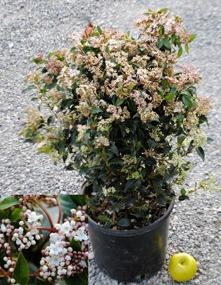 Viburnum Viburno Tinus LAUROTINO LENTAGGINE vaso 24 cm