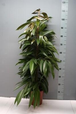 Ficus Amstel v27 h 120_140