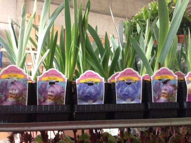 Iris Germanica v14cm