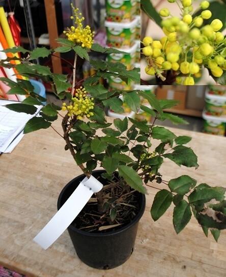 Mahonia Aquifolium v18