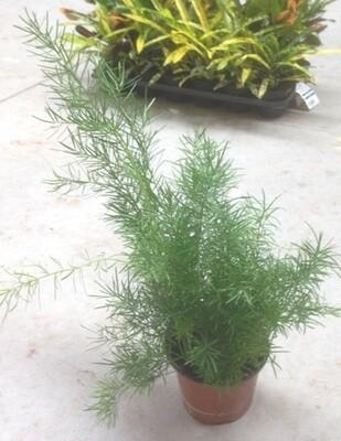 Asparagus Asparigina vaso 13
