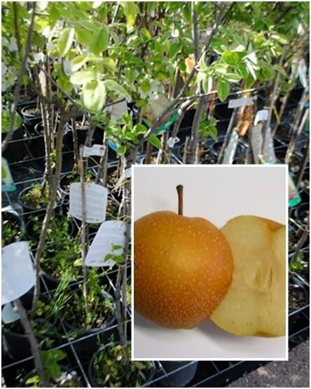 Nashi ( incrocio fra mela e pera)