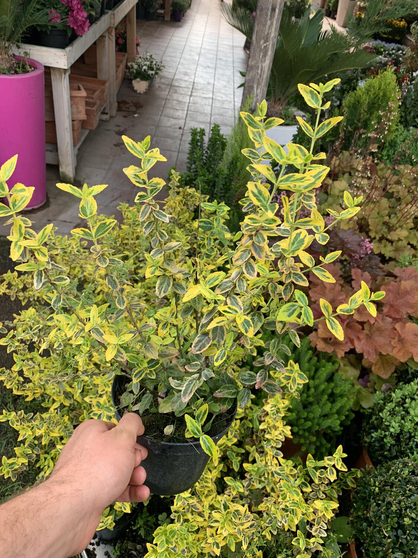 Evonimo Euonymus Emerald Gold vaso 13