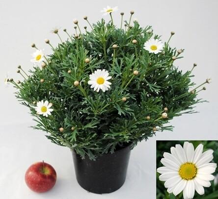 MARGHERITA ( agryranthemum) vaso 19 cm