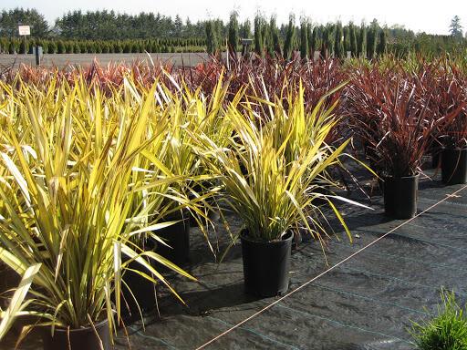 Phormium variegata