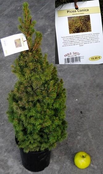 Picea Glauca Conica vaso 20