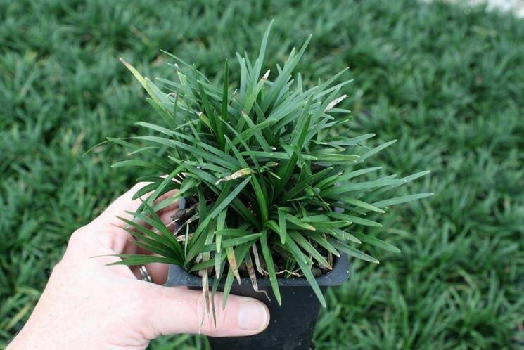 Convallaria Japonica v9