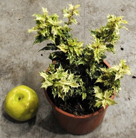 Osmanthus Heterophyllum arlecchino