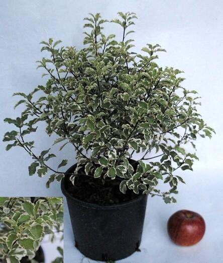 Pittosporo Heterophilla Variegata