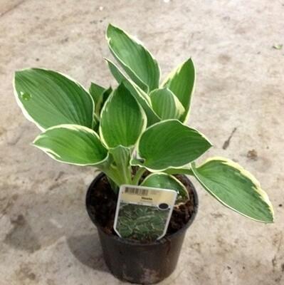 Hosta variegata v16
