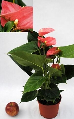 ANTHURIUM vaso 14 cm h 40/45 cm fuori vaso