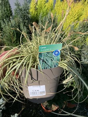 Carex evergold v16 cm