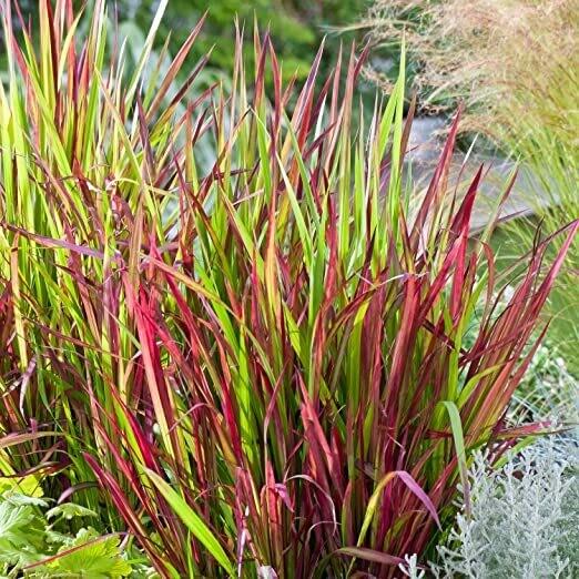 Imperata Cilindrica Red Baron (graminacea)
