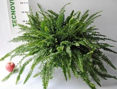 Felce Nephrolepis Microsorum v17 cm